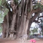 アメリカ大陸最大の巨木エル・トゥーレ:オアハカ
