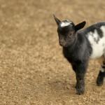 山羊の群れに遭遇し温泉に辿り着けなかった:ボケテ