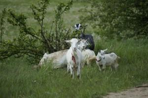 goat-972567_1280