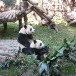 パンダはかわいいやつだった:成都