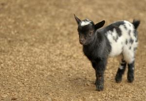 goat-1155529_1280